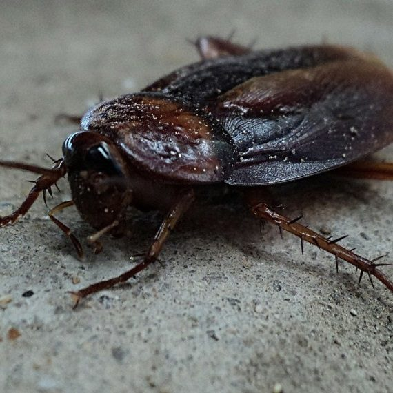Cockroaches, Pest Control in Thamesmead, SE28. Call Now! 020 8166 9746