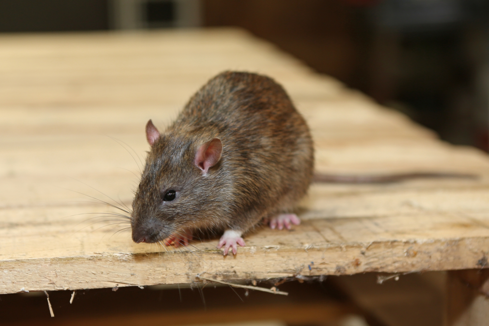 Rat Infestation, Pest Control in Thamesmead, SE28. Call Now 020 8166 9746
