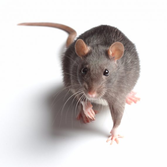 Rats, Pest Control in Thamesmead, SE28. Call Now! 020 8166 9746