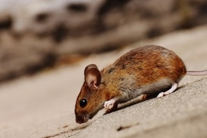 Mouse extermination, Pest Control in Thamesmead, SE28. Call Now 020 8166 9746