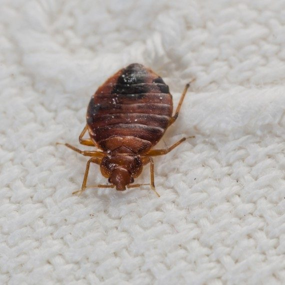Bed Bugs, Pest Control in Thamesmead, SE28. Call Now! 020 8166 9746