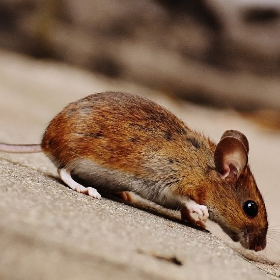 Mice, Pest Control in Thamesmead, SE28. Call Now! 020 8166 9746